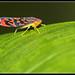 Colorful Leafhopper by Hamilton Images