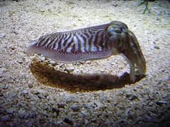 macro photography(0.0), animal(1.0), molluscs(1.0), cephalopod(1.0), marine biology(1.0), fauna(1.0), cuttlefish(1.0), underwater(1.0), wildlife(1.0),