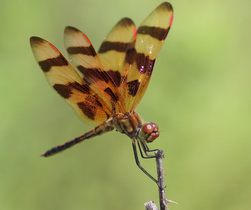 male dragonfly northcarolina richmondcounty halloweenpennant