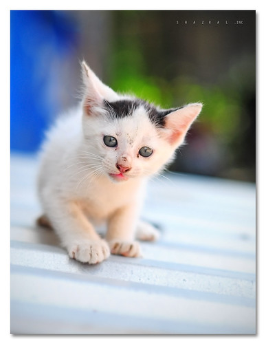 pets cat nikon dof bokeh malaysia nikkor kucing d300 af85mmf18d azralfikri shazral friendsofzeusphoebe