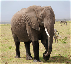 Amboseli Elephant.