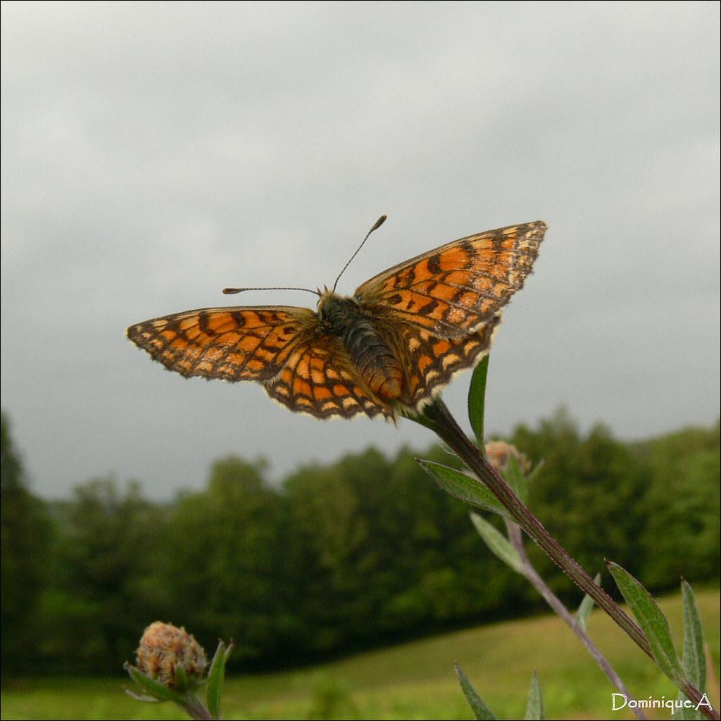 Papillon Argynnis niobe (Le Chiffre)