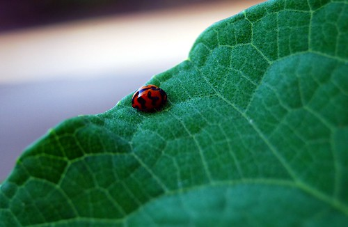 Lady Bug on a Green leaf