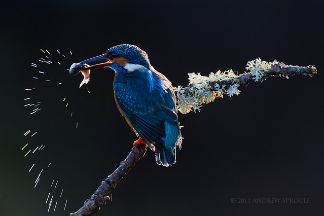 Male Common Kingfisher (Alcedo atthis)