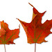 Small photo of Acer saccharum - Sugar Maple fall leaves
