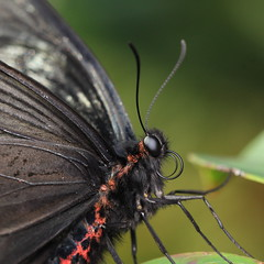 Spangle / Papilio protenor / 黒揚羽(クロアゲハ)