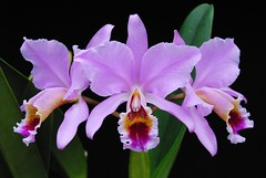 Cattleya percivaliana 'summit' x 'sonja'