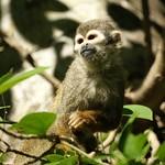 Brazilian Squirrel monkey- Bonnet House