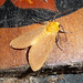 Small photo of Arctiidae