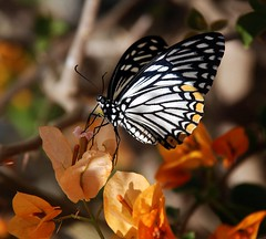 Common Mime Butterfly on bougainvillea