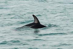 grey whale(0.0), animal(1.0), marine mammal(1.0), whale(1.0), ocean(1.0), marine biology(1.0), dolphin(1.0),