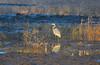 Great Blue Heron by Woolmarket100