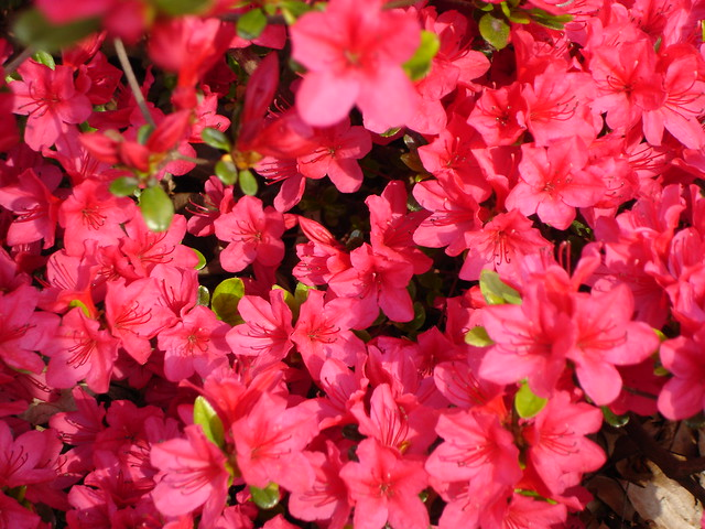 Azaleas in the Osborne Garden