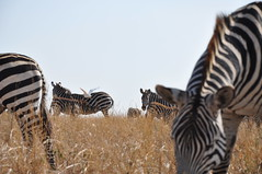 Burchell's Zebras - Nairobi National Park