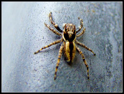 Aranha Saltadora sobre Metal - Jumping Spider on Metal