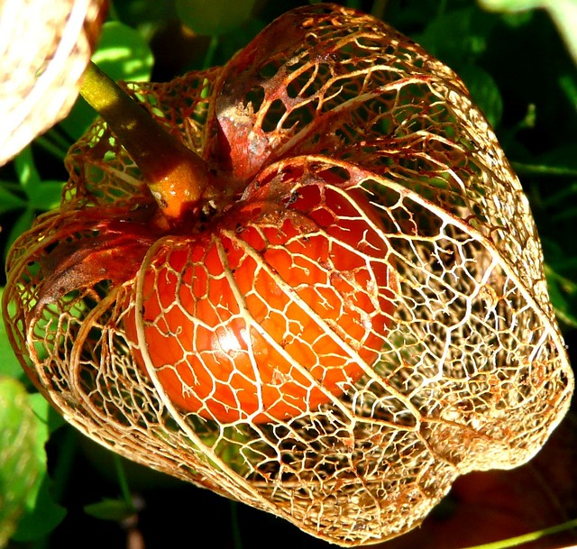 physalis aka chinese lantern a gallery on flickr. Black Bedroom Furniture Sets. Home Design Ideas