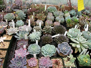 friend's collection of echeverias
