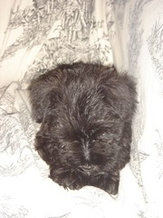 lhasa apso(0.0), schnauzer(0.0), cairn terrier(0.0), scottish terrier(0.0), dog breed(1.0), animal(1.0), dog(1.0), schnoodle(1.0), pet(1.0), mammal(1.0), miniature schnauzer(1.0), affenpinscher(1.0), terrier(1.0),