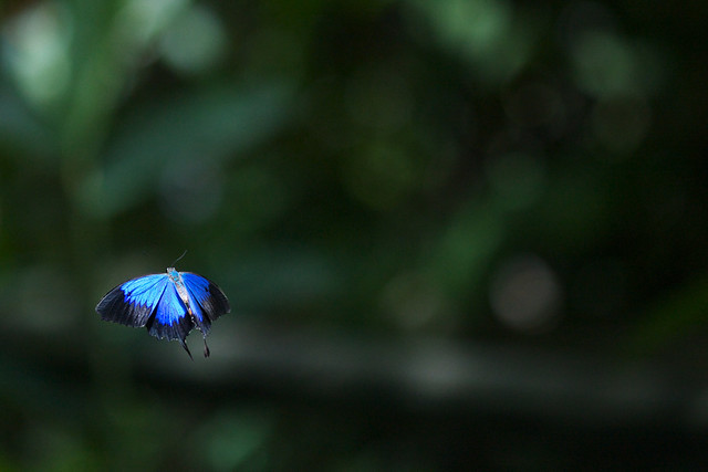 Ulysses Butterfly | IMG_4597