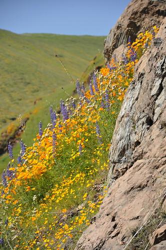 flowers fresno poppies wildflowers piedra