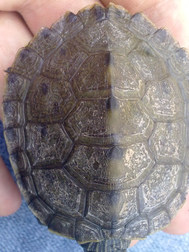 shell rot ? - EMERGENCY CARE - Turtle Forum