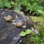 snail procession