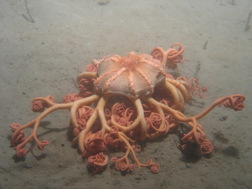 Basket star (Gorgonocephalus)
