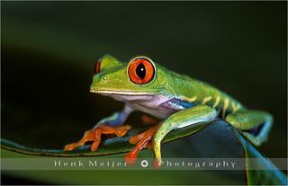 Gaudy Leaf Frog - Costa Rica
