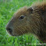 A Capybara in Action - Concepcion, Paraguay