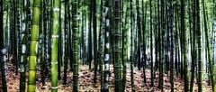 [フリー画像素材] 自然風景, 森林, 竹・竹林, 緑色・グリーン, 風景 - 中華人民共和国 ID:201202202000