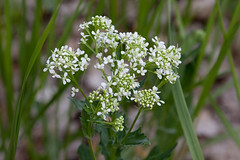 flower, cow parsley, plant, macro photography, herb, anthriscus, flora, caraway,