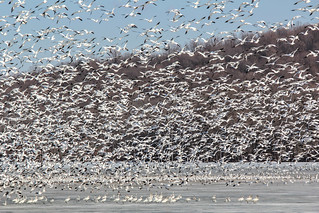Migrating snow geese at Middle Creek
