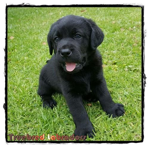 black-lab-puppy