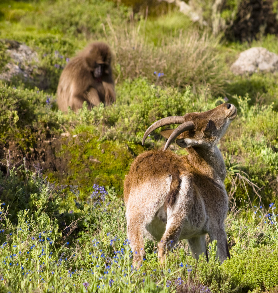 Gelada (Theropithecus gelada) y cabra montesa de Etiopía (Capra walie) dentro del Parque Nacional de Simien. Etiopía.