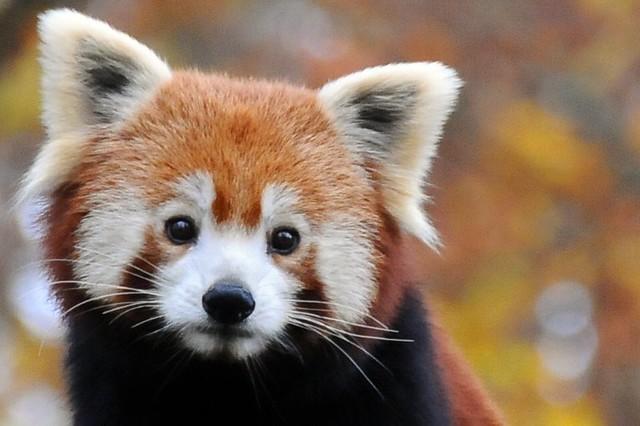 Rode Panda Explore Belgianchocolate S Photos On Flickr