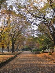 Yellow Leaves in Hibiya Park
