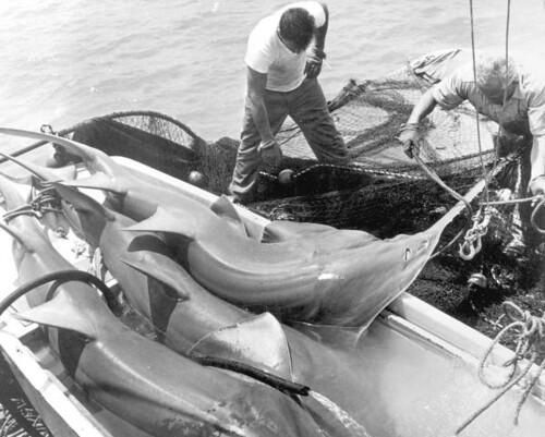 Fishermen rounding up recently netted sawfish