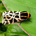 Small photo of Cymbaloiphora pudica.Tiger moth. Arctiidae.