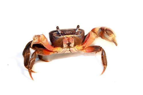 Freshwater crab - Potamonautidae, sawagani