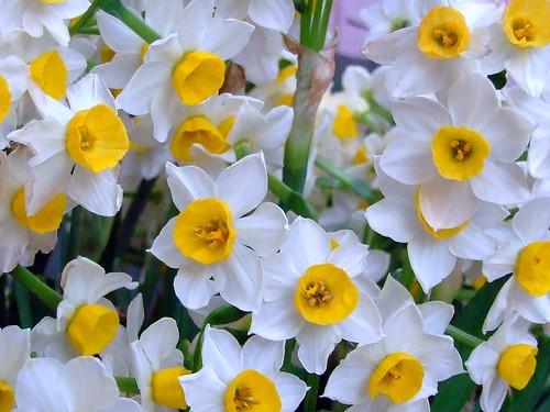AMARYLLIDACEAE 石蒜科 - Narcissus (Narcissus tazetta var. chinensis) 中國水仙