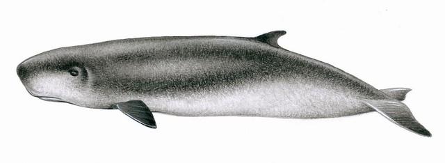 小抹香鲸(手绘图 林务局提供)