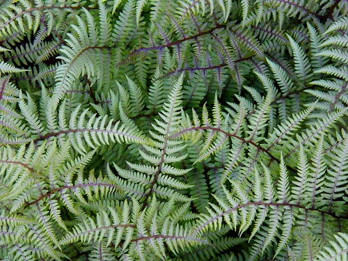 Fern Beauty