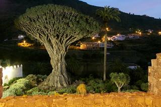 Billede af Drago Milenario i nærheden af Icod de los Vinos. tenerife drago
