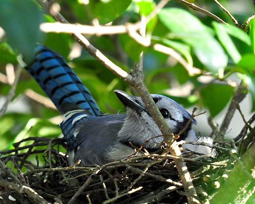 Blue Jay Nest Images images