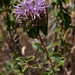 coyote mint - Photo (c) Franco Folini, some rights reserved (CC BY-SA)