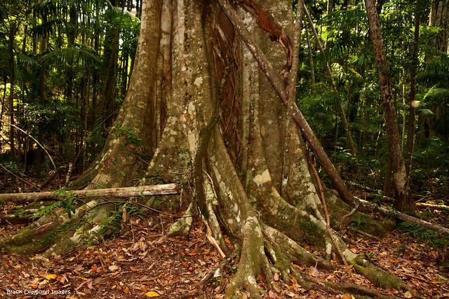Ficus watkinsiana - Strangling Fig