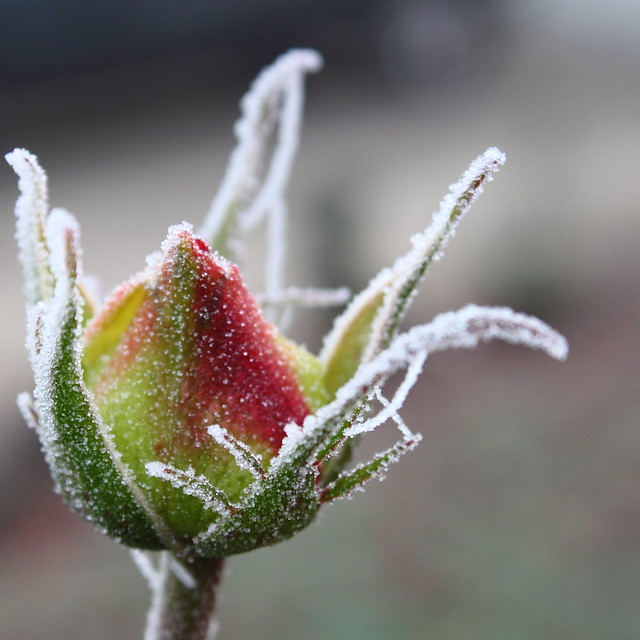 frozen buds on a - photo #6