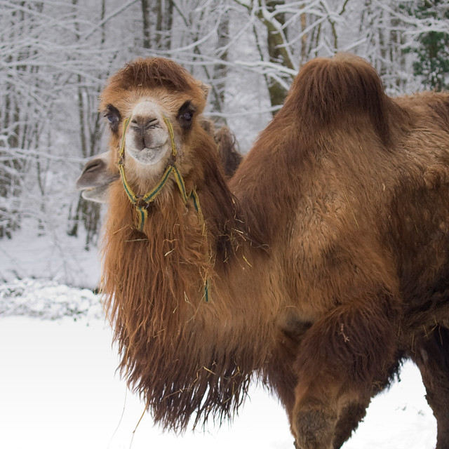 Neige et chameaux - Snow and Bactrian Camels