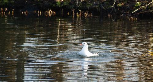 Gull bathing