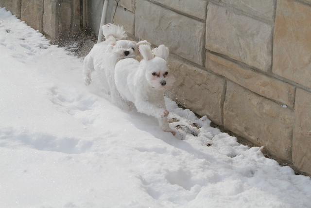 Cute Maltese puppies running in snow